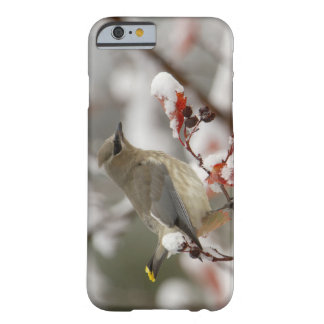 Adult Cedar Waxwing on hawthorn with snow, 3 Barely There iPhone 6 Case