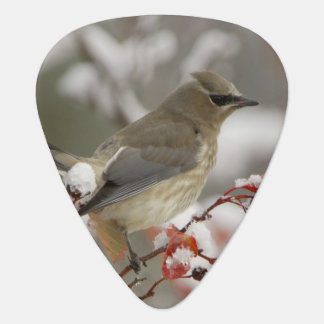 Adult Cedar Waxwing on hawthorn with snow, 3 Guitar Pick