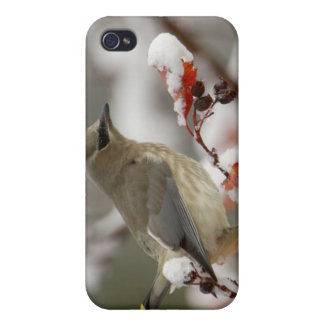 Adult Cedar Waxwing on hawthorn with snow, 3 iPhone 4/4S Cover