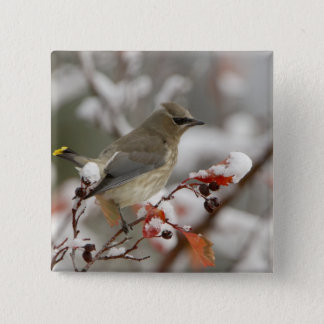 Adult Cedar Waxwing on hawthorn with snow, 3 Pinback Button
