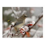 Adult Cedar Waxwing on hawthorn with snow, 3 Postcard