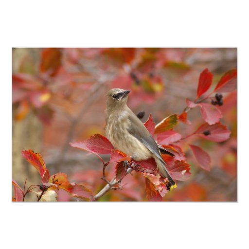 Adult Cedar Waxwing on hawthorn with snow, 4 Photographic Print