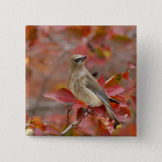 Adult Cedar Waxwing on hawthorn with snow, 4 Pinback Button