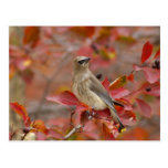 Adult Cedar Waxwing on hawthorn with snow, 4 Post Cards