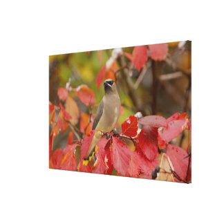 Adult Cedar Waxwing on hawthorn with snow, Canvas Print