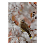 Adult Cedar Waxwing on hawthorn with snow, Poster