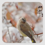 Adult Cedar Waxwing on hawthorn with snow, Square Sticker