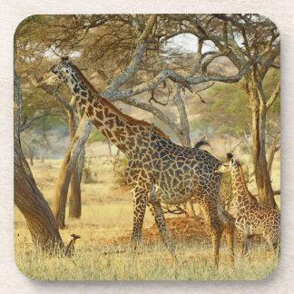 Adult female and juvenile Giraffe, Giraffa Drink Coasters