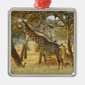 Adult female and juvenile Giraffe, Giraffa Square Metal Christmas Ornament