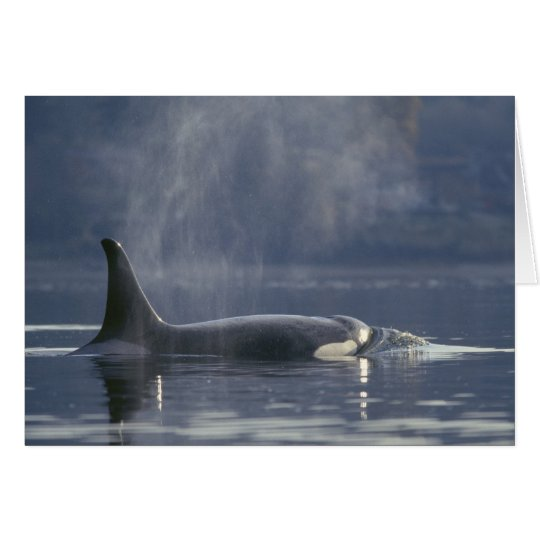 Adult female Orca Whale Orcinus Orca), Puget Card