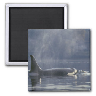 Adult female Orca Whale Orcinus Orca), Puget 2 Inch Square Magnet