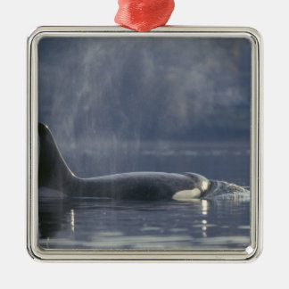 Adult female Orca Whale Orcinus Orca), Puget Ornament