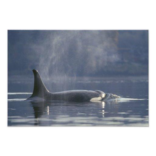 Adult female Orca Whale Orcinus Orca), Puget Art Photo