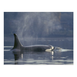 Adult female Orca Whale Orcinus Orca Puget Postcard