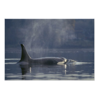 Adult female Orca Whale Orcinus Orca), Puget Poster