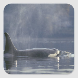 Adult female Orca Whale Orcinus Orca), Puget Square Sticker