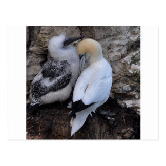 Adult Gannet with Chick Postcard