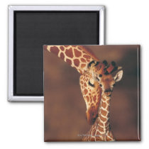 Adult Giraffe with calf (Giraffa camelopardalis) Magnet