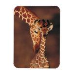 Adult Giraffe with calf (Giraffa camelopardalis) Magnet
