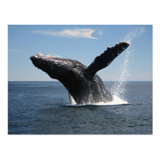 Adult Humpback Whale Breaching Postcard