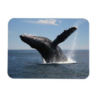 Adult Humpback Whale Breaching Rectangular Photo Magnet