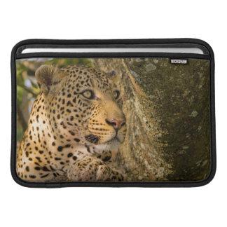 Adult Leopard (Panthera Pardus) Rests MacBook Air Sleeve
