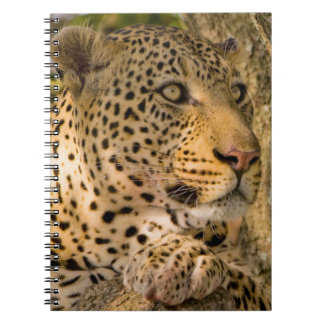 Adult Leopard (Panthera Pardus) Rests Notebook