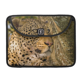 Adult Leopard (Panthera Pardus) Rests Sleeve For MacBooks