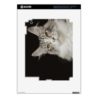 Adult Maine Coon Cat iPad 3 Skin