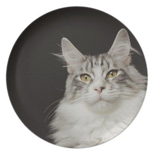 Adult Maine Coon Cat Melamine Plate