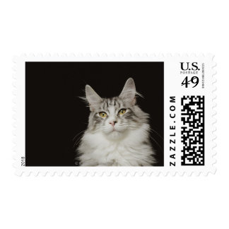 Adult Maine Coon Cat Postage Stamps