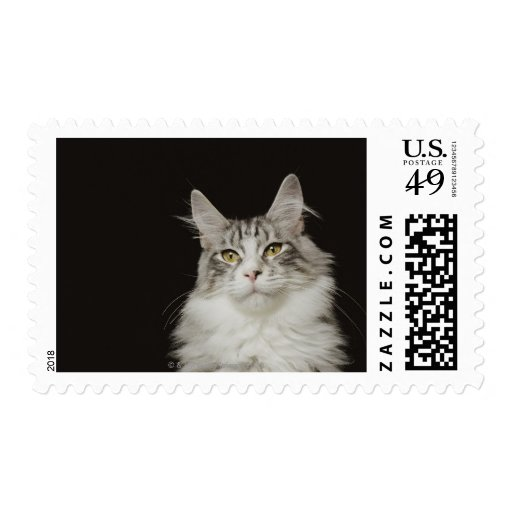 Adult Maine Coon Cat Postage Stamp