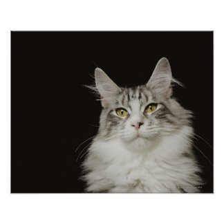 Adult Maine Coon Cat Poster