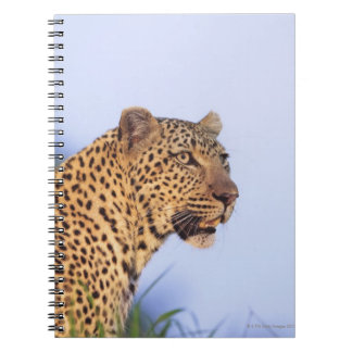 Adult male leopard (Panthera pardus), resting on Notebook