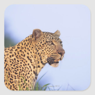 Adult male leopard (Panthera pardus), resting on Square Sticker