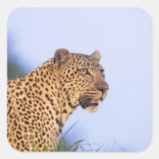 Adult male leopard (Panthera pardus), resting on Square Sticker