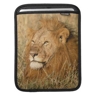 Adult male Lion at first light iPad Sleeves