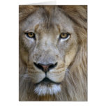 Adult male lion at the Sacramento Zoo, CA Card