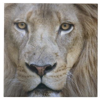 Adult male lion at the Sacramento Zoo, CA Ceramic Tile