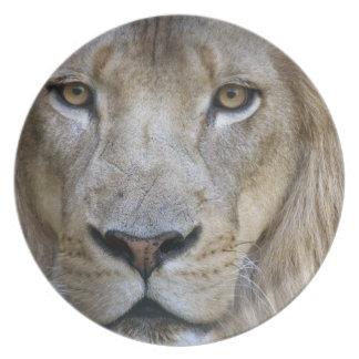 Adult male lion at the Sacramento Zoo, CA Melamine Plate