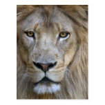 Adult male lion at the Sacramento Zoo, CA Postcard