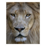 Adult male lion at the Sacramento Zoo, CA Poster