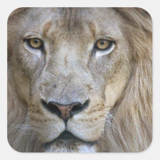 Adult male lion at the Sacramento Zoo, CA Square Sticker