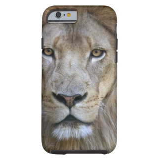 Adult male lion at the Sacramento Zoo, CA Tough iPhone 6 Case