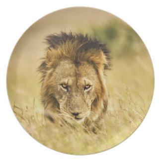 Adult male lion, Panthera leo, Masai Mara, Kenya Melamine Plate