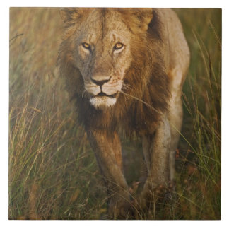 Adult male lion walking through tire tracks, ceramic tile