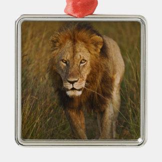 Adult male lion walking through tire tracks, metal ornament