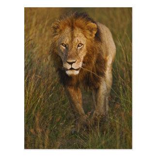 Adult male lion walking through tire tracks, postcard