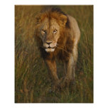 Adult male lion walking through tire tracks, posters