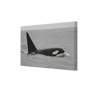 Adult Male Orca Monterey Bay Wrapped Canvas Print